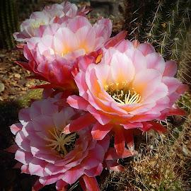 First Light Cactus by Dawn Hoehn Hagler - Flowers Flower Gardens ( first light, desert museum, pink flowers, cactus flowers, arizona, tucson, pink, garden, cactus )