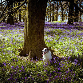 Bluebells and Puppy by Andy Stephenson - Landscapes Forests ( collie, nature, beautiful, dog, spring, woods, bluebells,  )