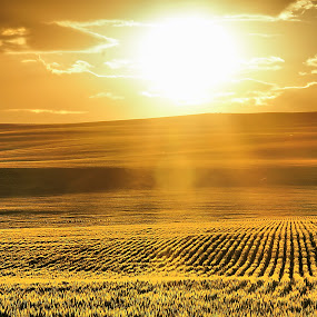 Wheat field at sunset by Gaylord Mink - Landscapes Sunsets & Sunrises ( field, wheat, hills, rays, sun )