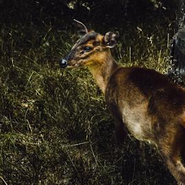 Oh Dear by Julie Wooden - Animals Other ( north dakota, herbivore, park, nature, bismarck, outdoors, wildlife, summer, woods, mammal, deer, animal,  )
