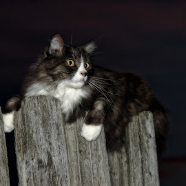 Hunting by Moonlight by Twin Wranglers Baker - Animals - Cats Portraits ( cat, night hunter, long-haired cat, feline, moonlight,  )