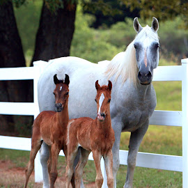 FAMILY PORTRAIT by Diana Cantey - Animals Horses ( azaamah, imperial mistaar, zajaddi egyptian arabians, imperial baarez, diana cantey photography )