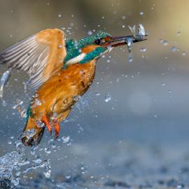 the perfect fisher bird.... by Riccardo Trevisani - Animals Birds ( bird, riccardo trevisani, kingfisher, wildlife, nikon, italy )