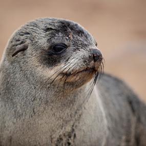 Seal by Ronnie Bergström - Animals Sea Creatures ( nikon, cape cross, nature, seal, animals, portrait, wild, water, cute, sea, wildlife, namibia )