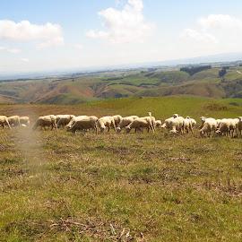 500 odd by Russell Benington - Animals Other Mammals ( farm, animals, ewes, sheep, nz )