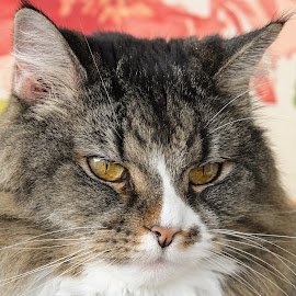 Contemplation by Dee Haun - Animals - Cats Portraits ( cats, animals, contemplation, 180216f0303ce1, portrait,  )