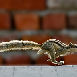 The Take off ! by Jagdish Singh - Animals Other Mammals ( mammel, action, squirrel,  )