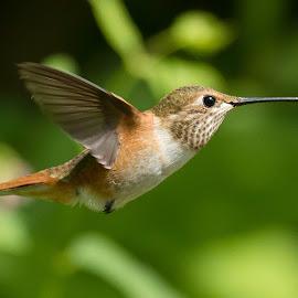 Rufous Hummingbird by Sheldon Bilsker - Animals Birds