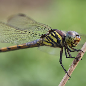 by Adianca Ridhani - Animals Insects & Spiders ( green, insect, dragonfly, small, animal )