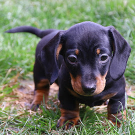 Black and Tan Girl by Chrissie Barrow - Animals - Dogs Puppies ( grass, pup, smooth haired, tail, portrait, eyes, pet, fur, dachshund (miniature smooth), ears, puppy, legs, dog, nose, tan, black )