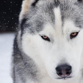 Siberian husky in the snow by Sonja Savic - Animals - Dogs Portraits ( siberian husky, snow, snowflakes, husky, showdogs, sleddogs, snowdogs )