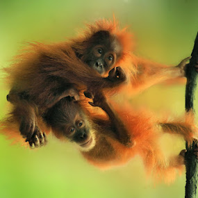 The Littles Acrobat by Alit  Apriyana - Animals Other Mammals