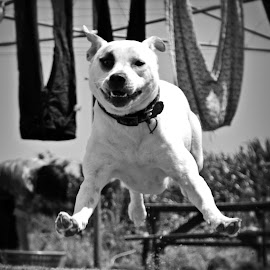 I believe I can fly.... by Wendy Hornell - Animals - Dogs Running ( flying, black and white, rescue, running, echo, smiling )