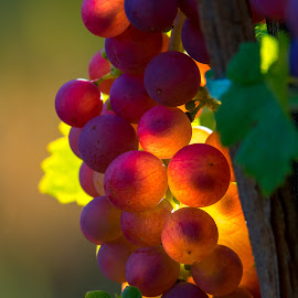 Red grapes by Aleksandra Jereb - Nature Up Close Other Natural Objects ( wine, red, grapes, vinery, summer, red grapes, sunlight, sun )
