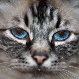Gizmo by Hrodulf Steinkampf - Animals - Cats Portraits ( cat, fauna, cat portrait, feline, gizmo )