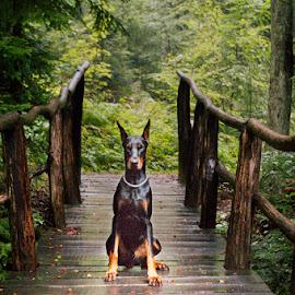 My name is Kan, Doberman Kan by Tomislav Čar - Animals - Dogs Portraits ( nature, kan, sljeme, croatia, bridge, zagreb, dog, doberman, medvednica, portrait )