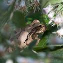 Rana de árbol mexicana