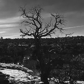 Canyon de Chelly by Pam Walrath - Black & White Landscapes ( tree, black and white, arizona, snag, landscape )