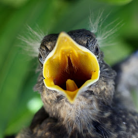 Baby bird by Eurico David - Animals Birds