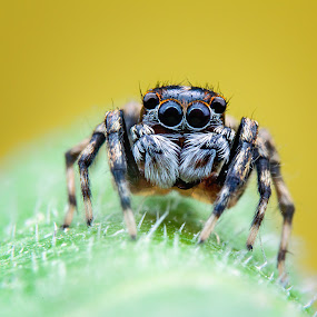 Potrait of spider by Tan Tc - Animals Insects & Spiders ( nature, macro photography, spider, insects, close up )