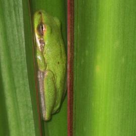 Sleeping  by Priscilla Renda McDaniel - Animals Amphibians ( palm, frog, green, sleeping, relaxing,  )
