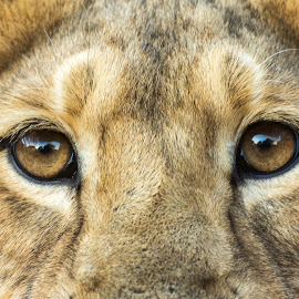 Eye of a Lion by Ganesh Namasivayam - Animals Lions, Tigers & Big Cats ( lion, gir, eye of a lion )