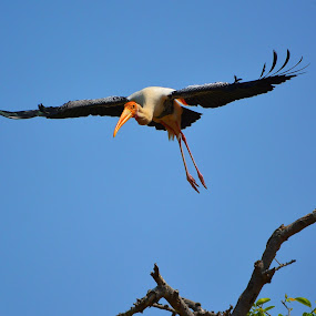 Take off by Brijesh Shivashankar - Animals Birds ( bird, flight, sunny, animalia, take off )
