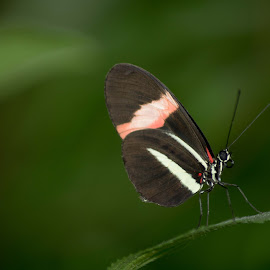 Butterfly by Joyce Dales - Animals Insects & Spiders ( butterfly, green, netherlands )