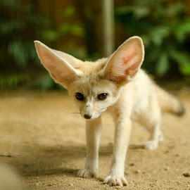 Fennec fox by Mohammad Khairizal Afendy - Animals Lions, Tigers & Big Cats ( fox, fennec fox, wildlife, cute, exotic, predator, carnivore, nature, zoo, nocturnal, fur, ecology, desert fox, africa, intelligence, animal, wild, sand, desert, vulpes zerda, zerda, vulpes, mammal, hunter, hunting, ears, sahara, brown, fennec, small )