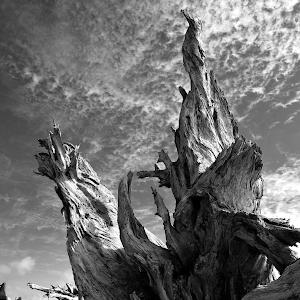 55 driftwood roots v bw.png
