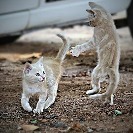 Karate Kittens by Pieter J de Villiers - Animals - Cats Kittens