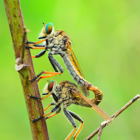 Roberfly Mating by Ade Yuda - Animals Insects & Spiders