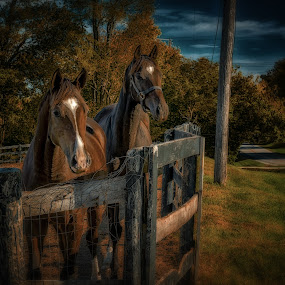couple by Mike Svach - Animals Horses ( mare, farm, strab, twilight, horse )