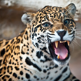 Grrrr by Jason Brown - Animals Other Mammals