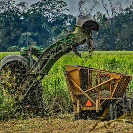 SUGARCANE HARVEST by Ron Olivier - Digital Art Places ( sugarcane harvest )