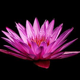 Dancing in the Dark by Dee Haun - Flowers Single Flower ( flowers, pink, black background, 180510f3044rce3, single flower, lily, orange center, water lily )
