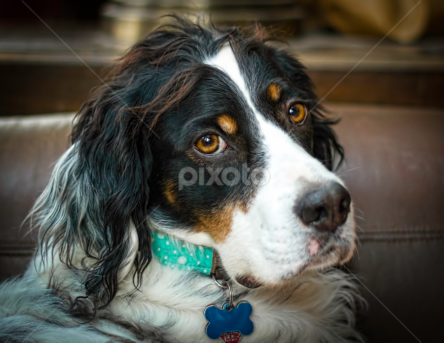 Poor me... treat? by Andrew Lawlor - Animals - Dogs Portraits ( canine, field, gun dog, hunting dog, hunting, setter, english setter, dog, field setter, english, bird dog )