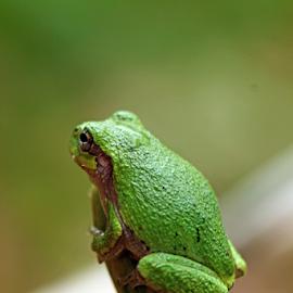 by Dipali S - Animals Amphibians ( sitting, frog, green, amphibian, small, animal )