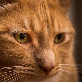 by Niroshan Muwanwella - Animals - Cats Portraits