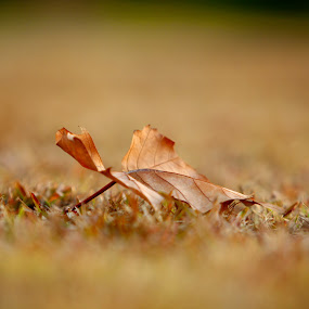Winter Leaf by Bradley Francis - Nature Up Close Leaves & Grasses ( dry, winter, drakensburg, brown, leaf )