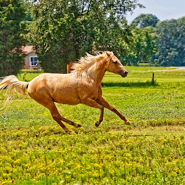 Running Free by Sandy Friedkin - Animals Horses ( field, horse, palamino )