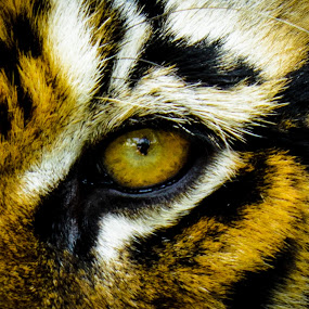 The Eye of the Tiger by Valliappan Chellappan - Animals Lions, Tigers & Big Cats ( cat, tiger, fierce, hungry, animal )