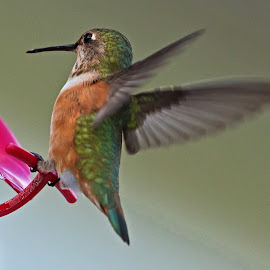 Too Much to Drink by Sparty Rodgers - Animals Birds ( 300mm af-s lens, d800, hummingbird, avian species, birds, rufous )