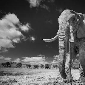 Larger than life! by Jaideep Abraham - Black & White Animals ( habitat, conservation, wildlie, elephant, national parks, kenya, tsavo, tusker, landscape, africa )