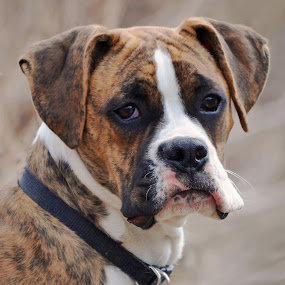 by Donna Nicklas - Animals - Dogs Portraits ( k9, boxer, brindle, puppy, dog )