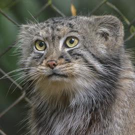 Pallas Cat by Chaz Clark - Animals Lions, Tigers & Big Cats ( wildlife park, cat, cat's eye's, wildlife, captive, yellow eyes )