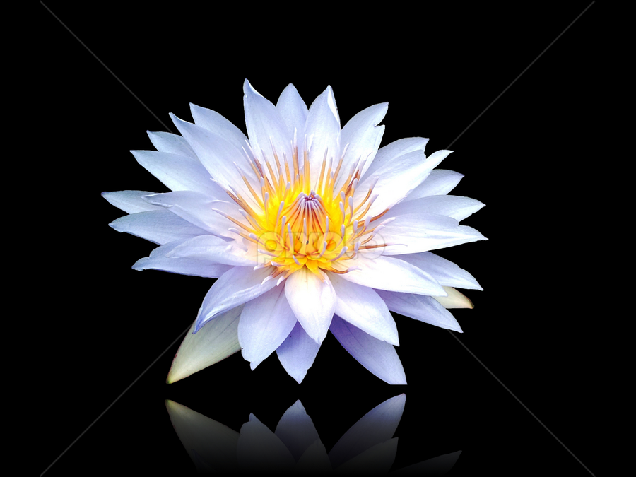 Little Lotus flower by Diliban P - Nature Up Close Flowers - 2011-2013 ( lotus, nature, pond, closeup, flower,  )