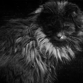 by Rory Lamorie-Flickinger - Animals - Cats Portraits ( cat, black and white, white )