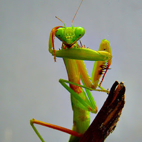 the Mantis style's by Chev M - Animals Insects & Spiders