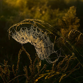 Dew Kissed by Lynn Kohut - Nature Up Close Webs ( web, dew drops, morning dew, morning, early morning,  )